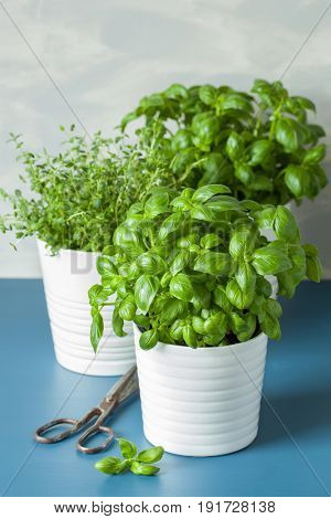 fresh basil and thyme herbs in pot