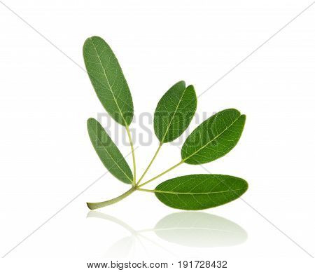 green leaf (Tabebuia aurea) tropical tree isolated on white background with shadow