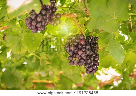 ripe red grapes in the vineyard with sun light image of agriculture or nature background