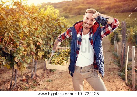 young man picking white grapes in his vineyard