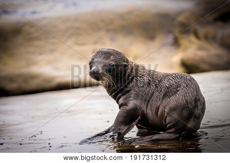 Baby sea lion closeup on the rocks