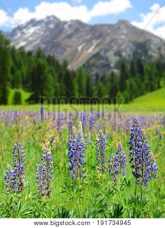 Lupine flowers on mountain meadow in Fanes Nature Park - Italian Alps