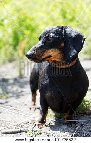 Dachshund Dog Sitting On The Ground And Looking To The Side