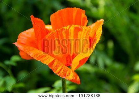 Orange poppy flower on flowerbed in garden