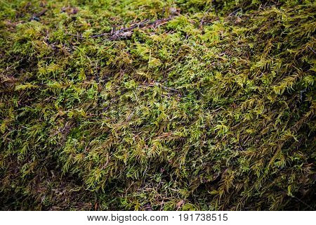 Moss growing on a rainforest tree trunk.