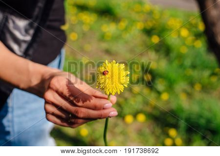 The ladybug on a yellow dandelion in woman's hand