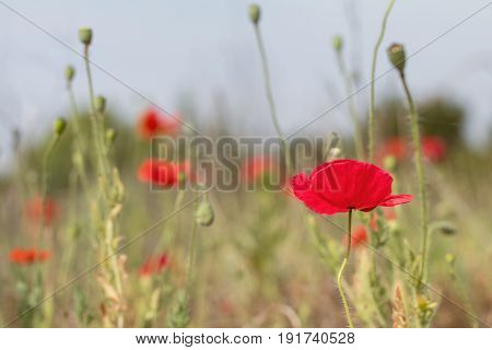 Field Of Bright Red Poppy Flowers In Summer