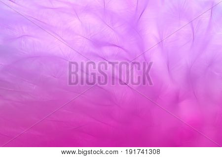 Pink background with feathers. Abstract pink background.Macro