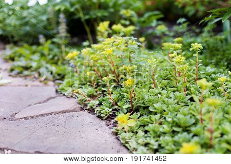 Sedum acre plant (stonecrop or wall-pepper) in bloom with yellow flowers on garden ground in spring. Selective focus.