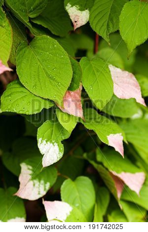 Half colored white and pink green leaves of Variegated Kiwi Vine Kolomikta Vine Arctic Beauty Kiwi Kolomikta Kiwi Schmuckkiwi Strahlengriffel (Actinidia kolomikta).
