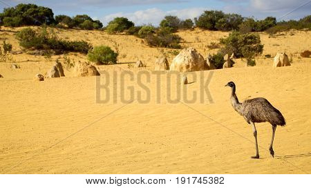 Emu walking through The Pinnacles Desert - Numbung National Park, Western Australia