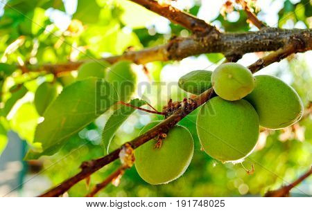 A few green unripe apricots on a tree branch of apricots and leaves on a sunny summer day on a blurred green background