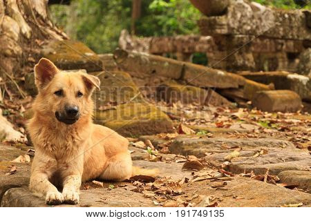 Wild street dog in the area of Ankor wat Cambodia