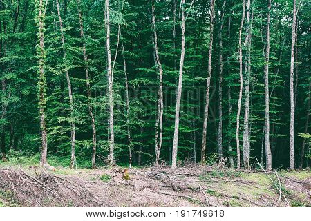 summer landscape with glades and orderly rows of trees in a dense forest