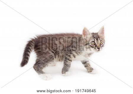 cute fluffy kitten isolated on white background
