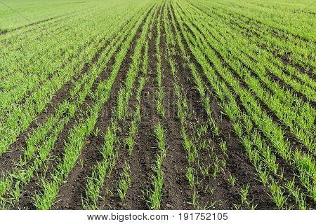 field with the young shoots of cereals