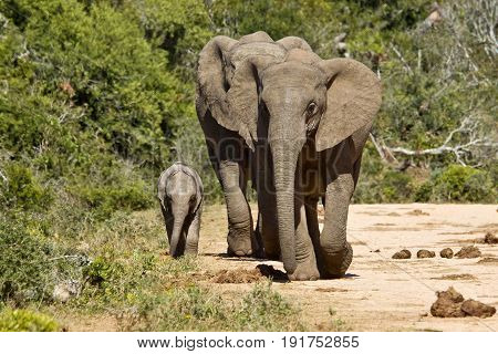 Elephants and young walking along a gravel road towards a water hole