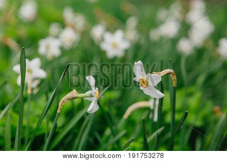 Spring beautiful field of white daffodils background.