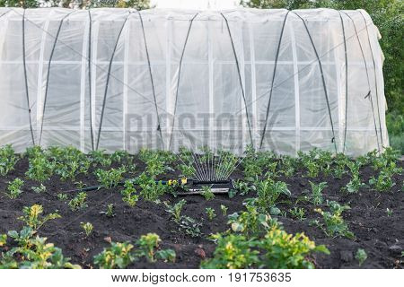 Sprinkler watering the potato beds in the garden irrigation of vegetables with water greenhouse in background