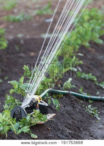 Sprinkler watering the potato beds in the garden irrigation of vegetables with water