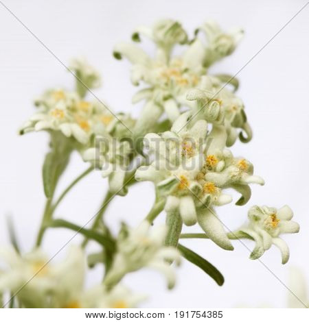 Closeup of a rare edelweiss (leontopodium alpinum) flowers on a white background. Square crop