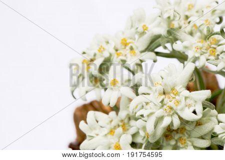 Beautiful edelweiss (leontopodium alpinum) flowers isolated on white