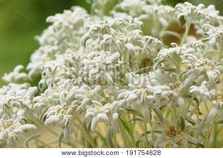 Closeup of beautiful white edelweiss flowers outdoors