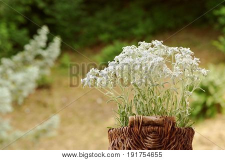 A basket of edelweiss flowers outdoors. Shallow depth of field