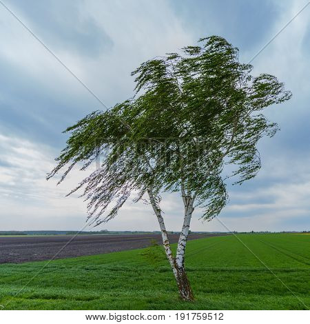 Lonesome Birch Tree In Meadow During Wind