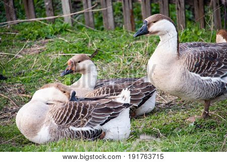 Flock of geese on the grass near the fence.