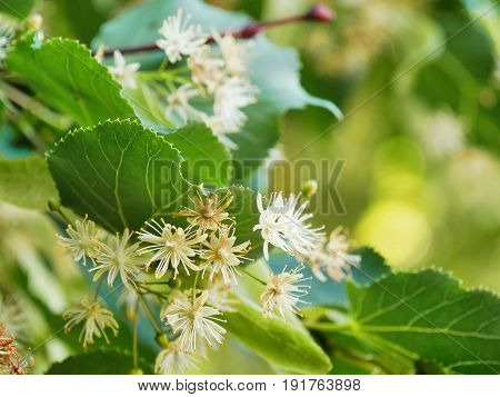 Linden tree flowers on tilia tree branches