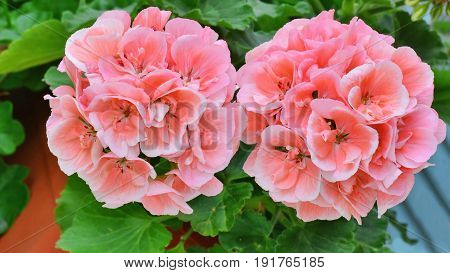 Salmon pink pelargonium flowers closeup. Horseshue pelargonium or Pelargonium zonale.