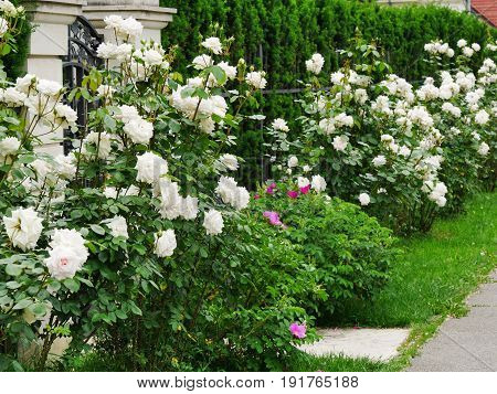 White rose bushes along the sidewalk on the street
