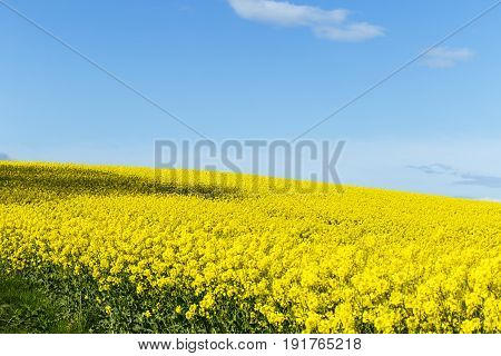 Beautiful Yellow Flowering Rape Field In Normandy, France. Country Agricultural Landscape On A Sunny