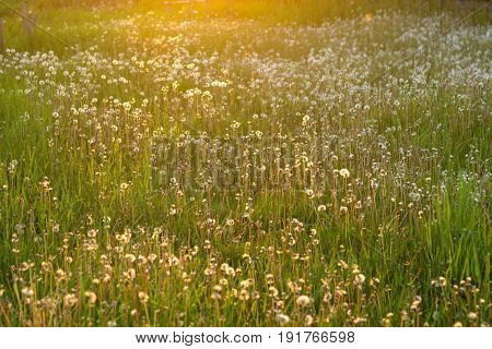 withered dandelions and grass on a Sunny day