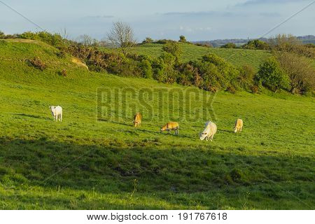 Cows Grazing On Grassy Green Field On A Bright Sunny Day. Normandy, France. Cattle Breeding And Indu