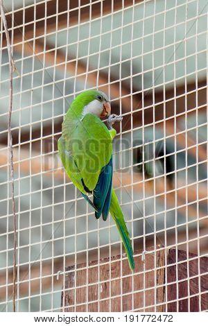 Male of the large green parrot - Eclectus roratus - is sitting on a grid at the Gan Guru Zoo in Kibbutz Nir David in Israel
