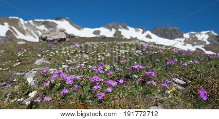 Blooming Primulas At Fellhorn Mountain, Allgau Alps