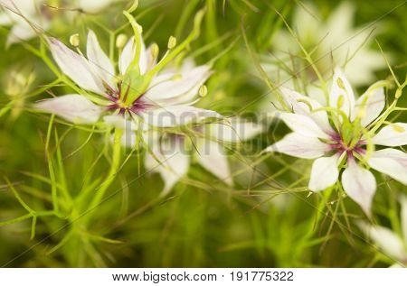 Black caraway (Nigella sativa) in the garden