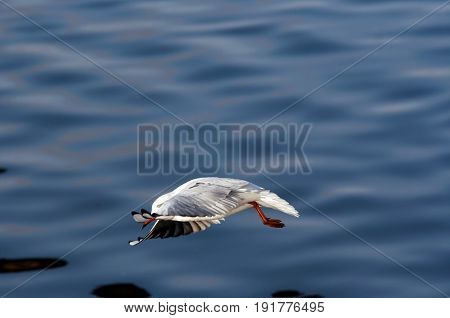 Swoop - image of the flying gull