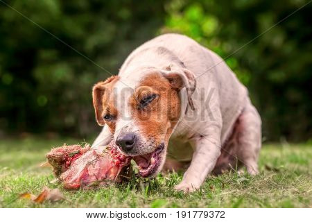 Jack Russell Terrier Female Dog Lying On A Green Field Happily Chewing A Large Raw Bone Full Of Meat