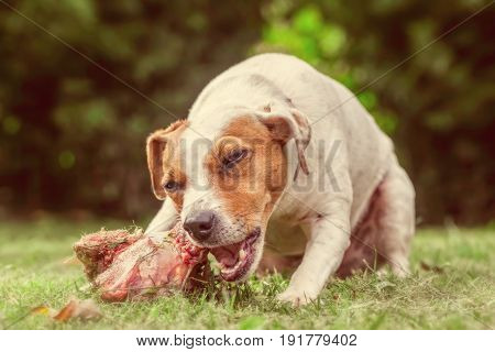 Close Up Jack Russell Terrier Female Dog Chewing An Oversize Cow Bone