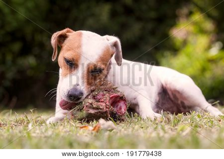 Jack Russell Terrier Angry Female Dog Protecting Big Bone With Meat