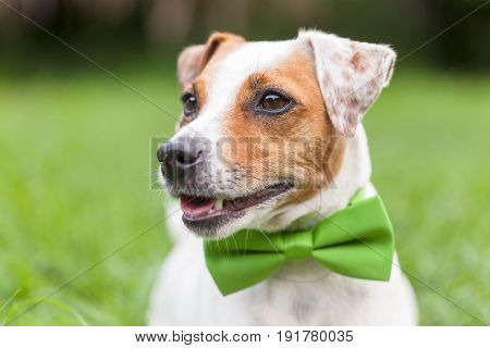 Portrait Of A Jack Russell Terrier Dog With A Green Tie