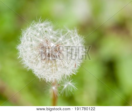 Dandelion Flower With Flying Feathers On Green Background Retezat Mountains Romania