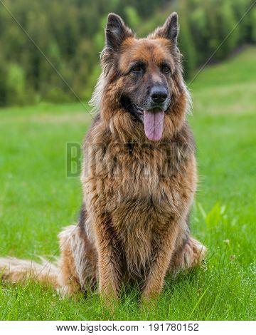 Portrait Of A German Sheperd Female Dog Lying On Grass In Retezat Mountains Romania