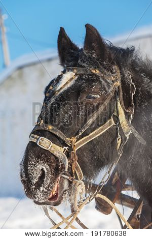 head horse with harness. Animal