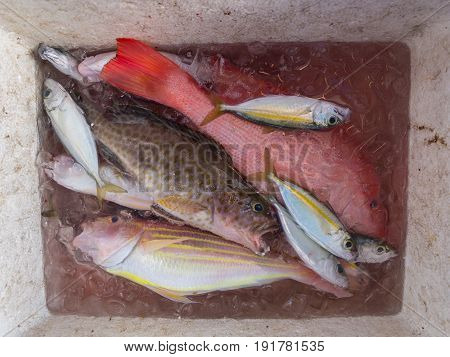 Fresh sea fish in the iced bucket after they were fished from the sea