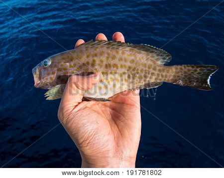 A left hand holding a Yellow-Spotted Grouper with blue sea background