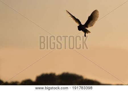 Barn Owl (Tyto Alba) hunting at dusk in rural countryside
